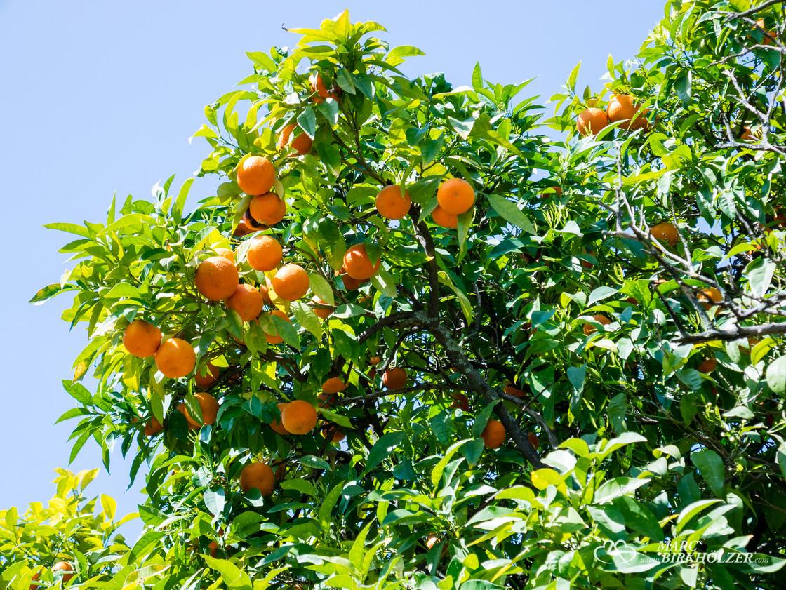 Orangenbäume in Hülle und Fülle und das im April
